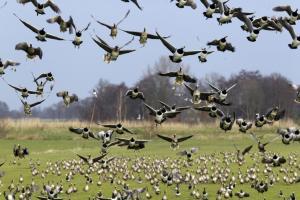 Ganzen in Friesland